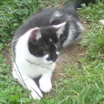 Blacknose the cat - missing from Kings Drive