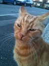 Eddie the striped ginger cat - missing from Beaufort Crescent