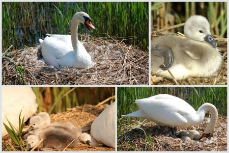 Nesting swan at the Three Brooks Lake, Bradley Stoke