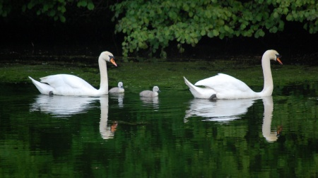 Swans and cygnets at the Three Brooks Lakes, bradley Stoke