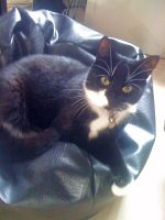 Tifa - cat missing from Palmers Leaze, Bradley Stoke