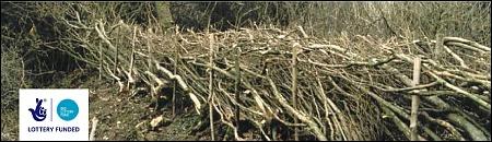 A newly-laid hedge