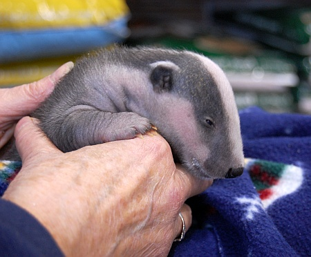 Hope the Badger cub (4 weeks old) at Pets at Home, Bradley Stoke