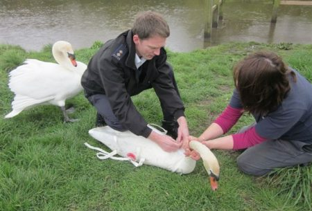 Injured swan at the Three Brooks Lake, Bradley Stoke, Bristol.