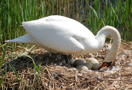 Swan tends eggs in nest at Three Brooks lake, Bradley Stoke.