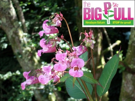 Himalayan balsam - STOP the spread. [Adapted from an image by ceridwen; licence: by-sa-2.0]