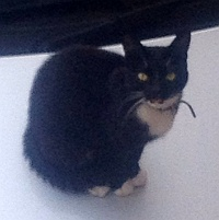 Cat missing from Rosemary Close, Bradley Stoke.