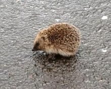 Hedgehog on the pavement near Manor Farm Roundabout, Bradley Stoke.