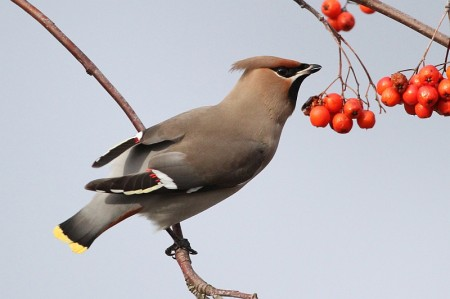Waxwing pictured at the Willow Brook Centre. [Photo credit: Chris Teague]