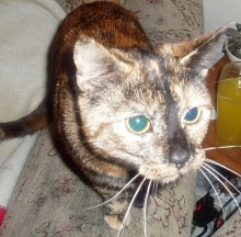 Missing cat: Kiki - last seen in The Hedgerows, Bradley Stoke in 2009.
