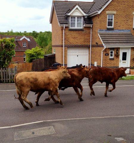 Escaped cows gallop along Juniper Way, Bradley Stoke.