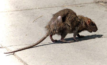 Street rat.
