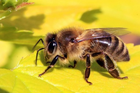 Honey bee (Apis mellifera).