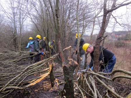 New Year workday: Hedge laying alongside Bradley Stoke Way.
