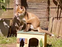 Fox cub in a garden in Bradley Stoke, Bristol.