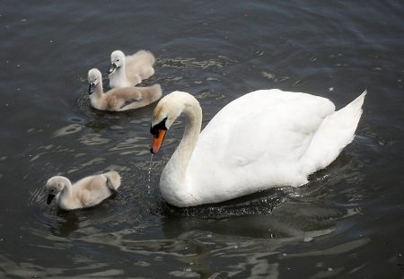 Swan and cygnets on the Three Brooks lake (a.k.a. the duck pond) in Bradley Stoke, Bristol.