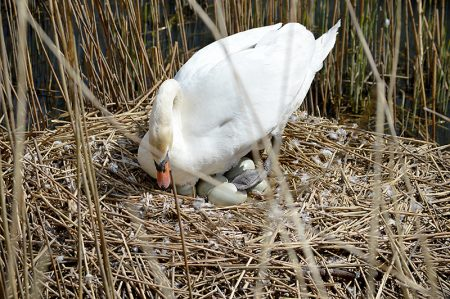 Swans' nest in the Three Brooks Local Nature Reserve, Bradley Stoke.