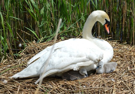 Swan and two cygnets on a nest in the Three Brooks Local Nature Reserve, Bradley Stoke.