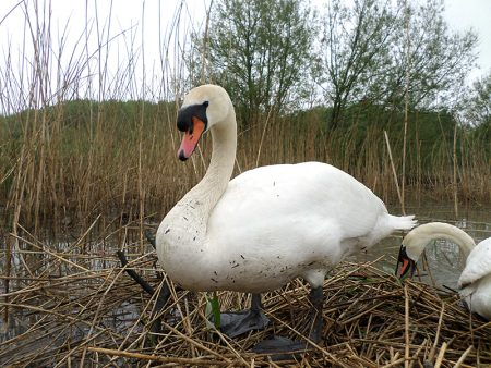 Flooded swans' nest in the Three Brooks Local Nature Reserve, Bradley Stoke.