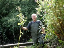 Pulling Himalayan balsam in the Three Brooks Local Nature Reserve, Bradley Stoke, Bristol.