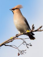 Waxwing on a tree in the car park of the Willow Brook Centre in Bradley Stoke, Bristol.