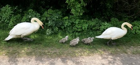 The Three Brooks swans walking along a path with their five cygnets. [Photo credit: Lee Lawson]