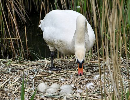 The Three Brooks swans' nest with five eggs. [Photo credit: Shaun King]