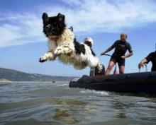 Newfoundland dog jumping into water.