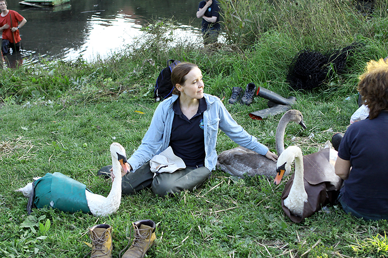 Swan and cygnet ringing at the lake in the Three Brooks Local Nature Reserve, Bradley Stoke.