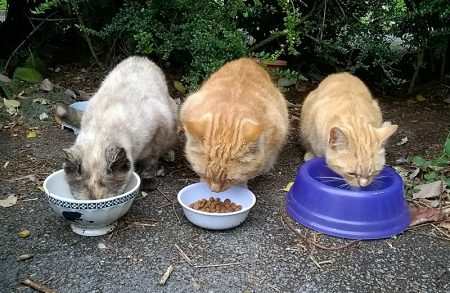 Photo of three feral cats eating from bowls.