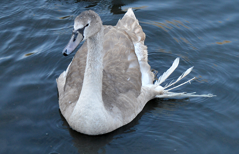 Photo of Angelo - a cygnet with the 'angel wing' condition.