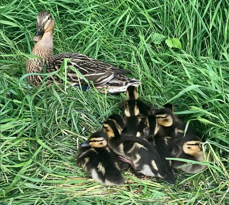 Photo of ducklings resting in grass beside the pond at The Common (East),.