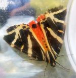 Photo of a Jersey tiger moth.