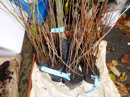 Photo showing bundles of tree saplings ready to be planted by BSiB volunteers.